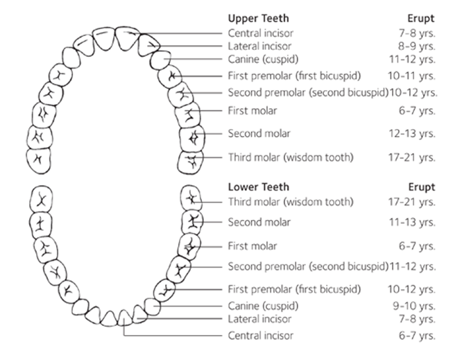 Permanent teeth eruption chart