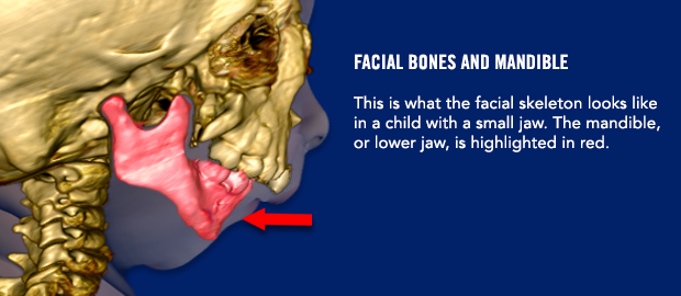 Facial bones and mandible