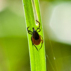 Related image for article, Minnesota spring means ticks, health risks