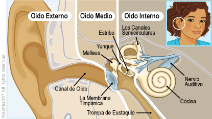 ear anatomy illustration